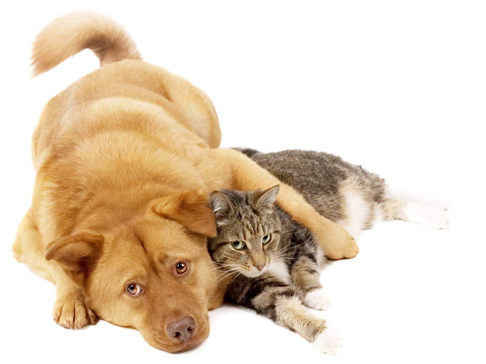 Dog_And_Cat_On_White_Background_freecomputerdesktopwallpaper_1600